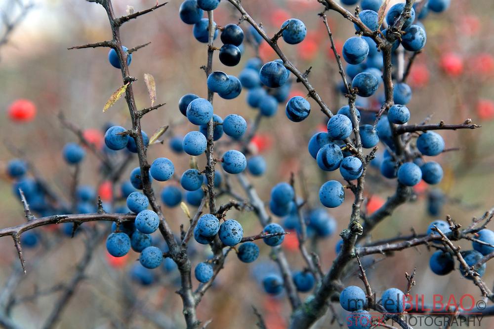 Blackthorn or sloe (Prunus spinosa) in fruits.<br /> Fuentes Carrionas y Fuente del Cobre Natural Park.<br /> Palencia, Castile and Leon, Spain, Europe