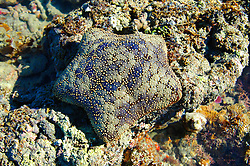 Cushion star (Culcita schmideliana) in Camden Sound on the Kimberley coast.