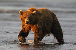 North American brown bear /  coastal grizzly bear (Ursus arctos horribilis) sow fishes in Silver Salmon Creek at sunrise, Lake Clark National Park, Alaska, United States of America
