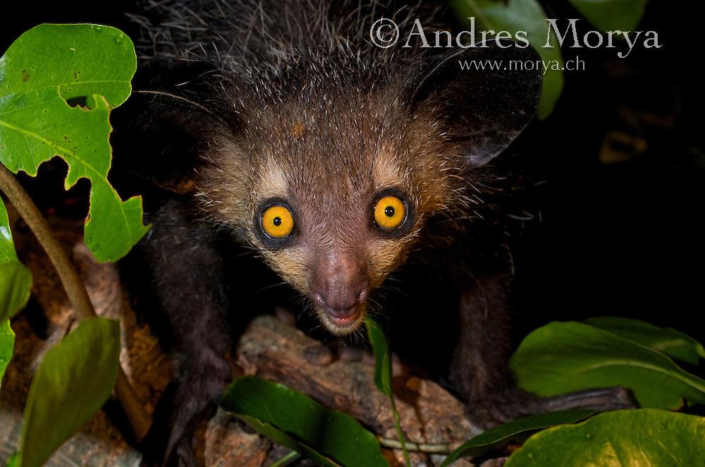 Aye-aye, (Daubentonia madagascariensis), Eastern Madagascar Image by Andres Morya