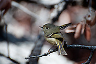 A Ruby-crowned Kinglet(Regulus calendula)in Florida Canyon, Santa Rita Mountains, Southeastern Arizona