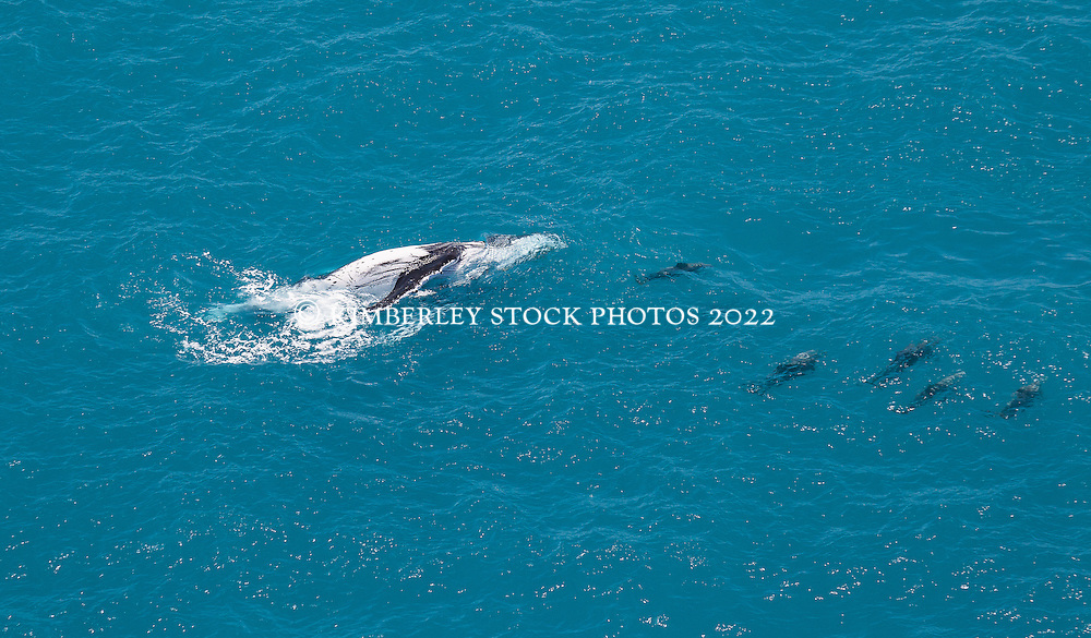 A humpback whale and pod of dolphins off Willie Creek.