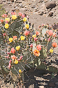 Big Bend Prickly Pear.Opuntia azurea.Big Bend National Park, Texas, United States.15 April       Plant and flowers      Cactaceae