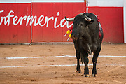 A Mexican bull with banderillas stabbed into his neck during a bullfight at the Plaza de Toros in San Miguel de Allende, Mexico.