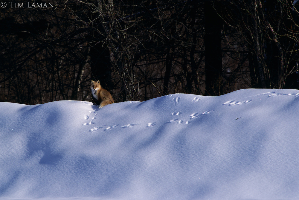 A red fox on a crest of snow at the edge of a forest.