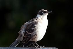 Galapagos Mockingbird (Mimus parvulus), Galapagos Islands National Park, Santa Cruz Island, Galapagos, Ecuador