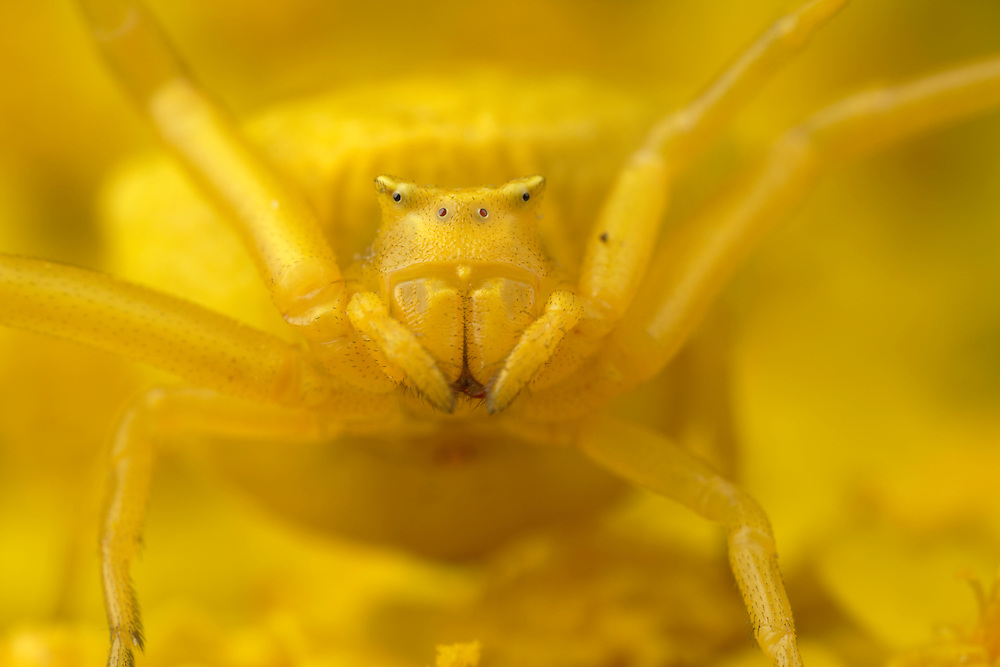 Crab spider, Thomisus onustus, yellow form on yellow Yarrow, Achillea filipendulina (Gold Plate). Close-up of eyes and face. Stenje region, Lake Macro Prespa (850m) <br /> Galicica National Park, Macedonia, June 2009<br /> Mission: Macedonia, Lake Macro Prespa /  Lake Ohrid, Transnational Park<br /> David Maitland / Wild Wonders of Europe