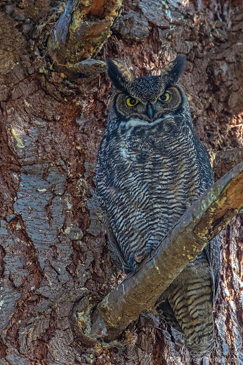 The camouflage of a great horned owl (Bubo virginianus) allows it to nearly vanish against the bark of a Douglas fir tree near Snohomish, Washington. Because of its adaptability, the great horned owl is the most widely distributed owl in North America.