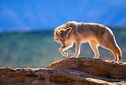 350103-1063 ~ Copyright: George H. H. Huey ~ Coyote [Canis latrans]. Southeast Utah.