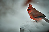 Male Northern Cardinal on a snowy day. Image taken with a Nikon D5 camera and 600 mm f/4 VRII lens (ISO 360, 600 mm, f/4, 1/1250 sec).