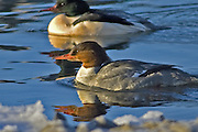 The Merganser duck is very shy and difficult to photograph.