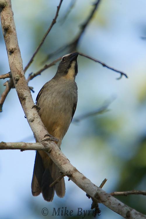 Grayish Saltator  (Saltator coerulescens) perched in a tree near Araras Eco Lodge (Mato Grosso, Brazil)