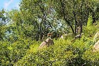 The Klipspringer is a small African antelope. Kruger National Park, South Africa.