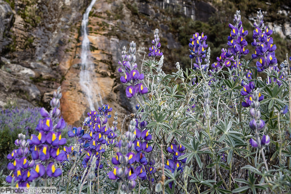 Lupine flowers grow by a waterfall along the Lake 69 trail in the Cordillera Blanca, Andes Mountains, Peru, South America. Lupinus (common name lupin or lupine) is a genus in the pea family (also called the legume, bean, or pulse family, Latin name Fabaceae or Leguminosae). As a day trip by car and foot from Huaraz, hike to Lake 69 (4600 meters elevation, 8 miles round trip with 800 meters gain).