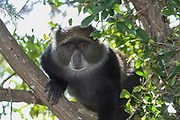 Sykes' monkey (Cercopithecus albogularis), also known as the white-throated monkey or Samango monkey, in a tree. This monkey lives in troops, deferring to a dominant male (seen here). This primate is quiet and shy, living in the treetops of tropical African forests. It feeds on fruit, leaves and arthropods. Photographed in Tanzania.