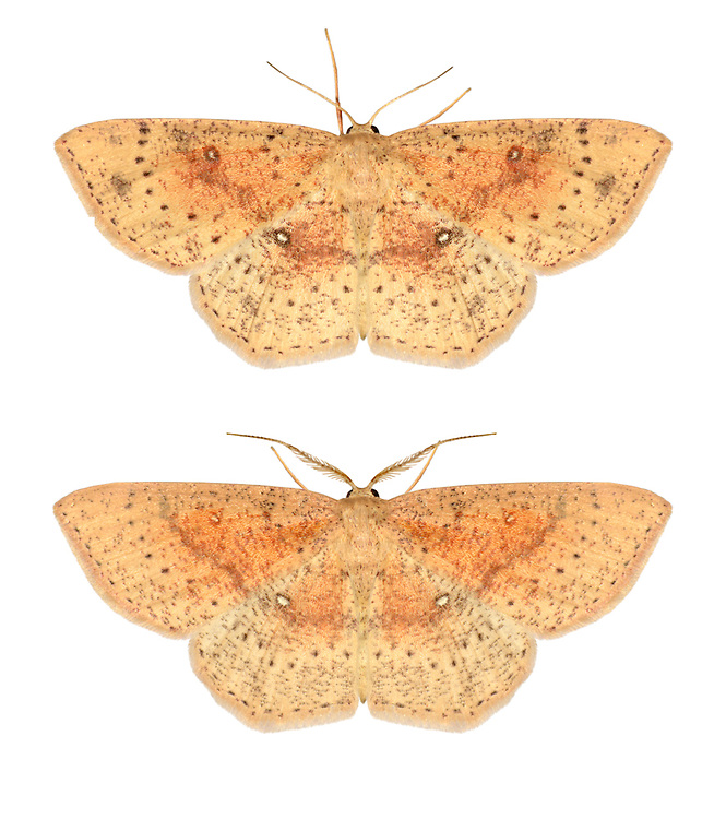 70.035 (1679)<br /> False Mocha - Cyclophora porata