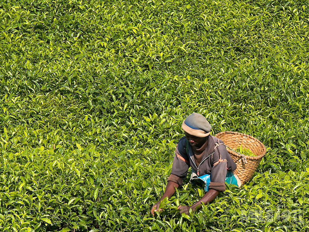 A tea picker at work in the South of Rwanda.