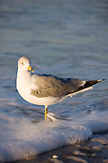 Ring-Billed Gull seagull, Larus delawarensis, on Gulf of Mexico shoreline, Anna Maria Island, Florida, USA