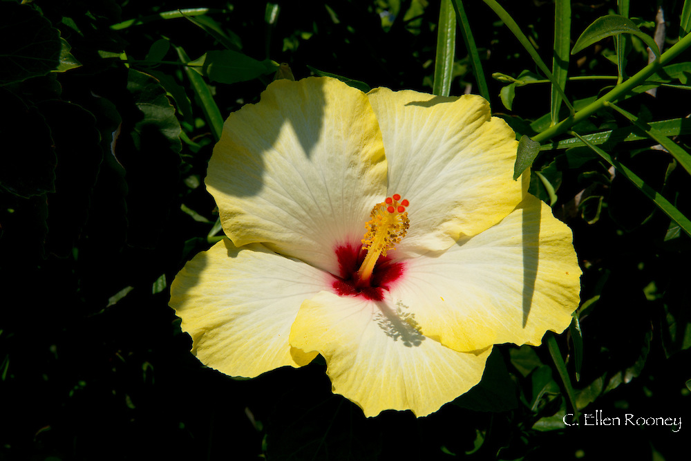 A yellow hibiscus flower growingon the island of Salina in The Aeolian Islands, Messina,Sicily, Italy