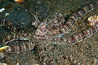 Mimic octopus are thought to mimic venomous or toxic animals such as sea snakes or lionfish.  However, their remarkable display may simply be a highly visible warning that has evolved to scare away predators.  Puri Jati is located on Bali's north coast.  Its featureless sandy bottom is home to a huge variety of unusual and interesting species known as 'critters' to 'muck' divers and photographers.  Bali is a very popular holiday destination for divers and offers a wide variety of different types of diving, from reefs and wrecks to mucks sites such as Puri Jati and Gilimanuk.