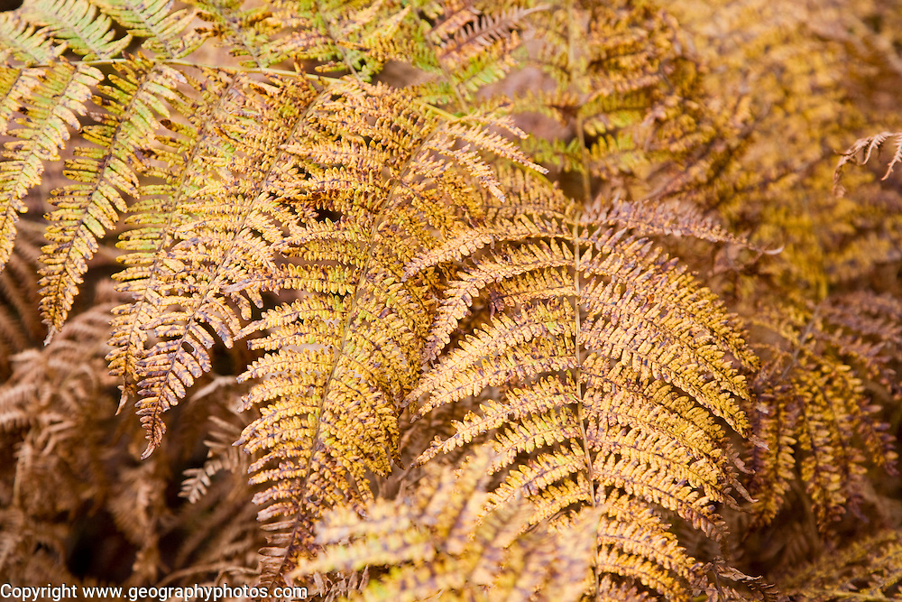 Bracken Pteridium fern leaves autumn colours on heathland at Sutton Heath, Suffolk, England
