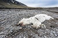 A deceased Polar Bear lies on a rocky beach at Kapp Lee on Edgeoya Island, Svalbard