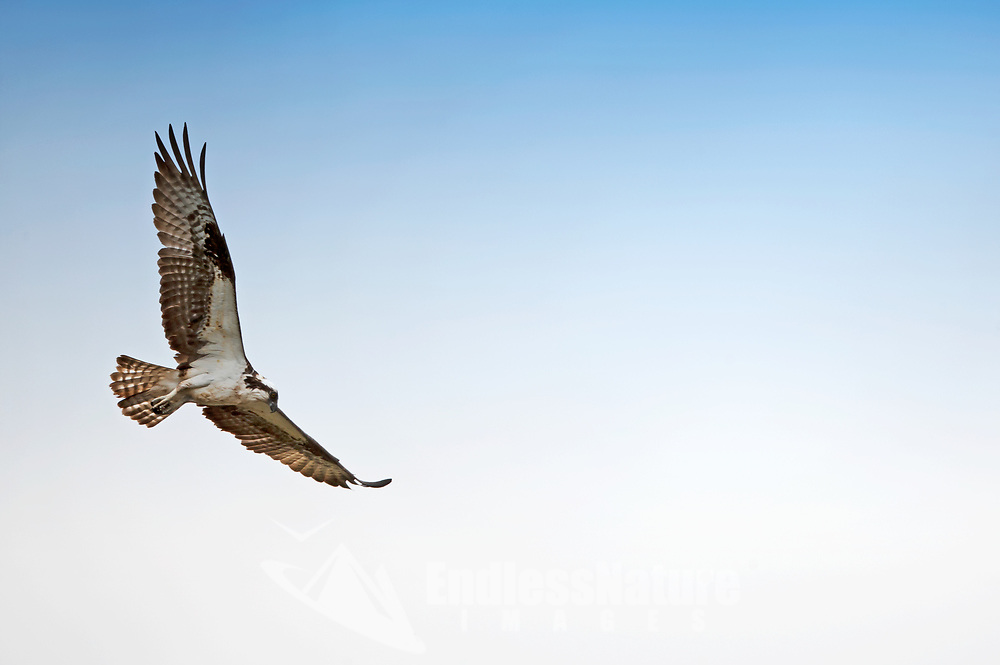 Osprey in flight over a northern Utah lake.