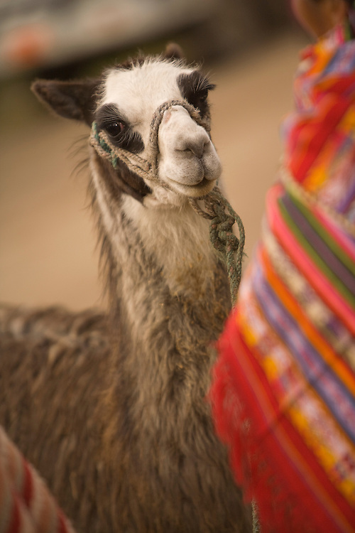 South America, Ecuador, llama at weekly market which draws indigenous people from surrounding villages