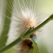 A macro shot of yellow woolly bear caterpillar (Spilosoma virginica). In adult form, this caterpillar is a Virginia tiger moth.