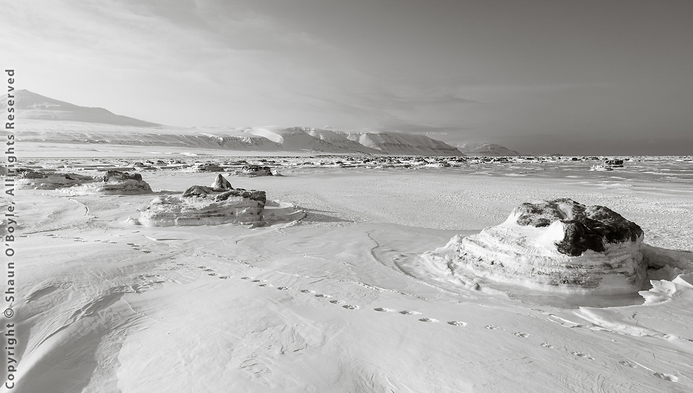 Polar Bear Tracks along shore of Temple Fjord, Svalbard. Temple Fjord, normally frozen through the winter, has been cycling through a freeze thaw cycle, preventing the ice from getting thick enough to support Polar Bears