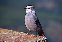 "Gray Jay (Perisoreus canadensis) 12"" bird. White forehead; dark gray cap and short bill.  Varies geographically in darkness of gray upperparts and brightness of white underparts.  Found mostly in northern coniferous forest."