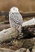 Canada, British Columbia, Boundary Bay, Snowy Owl (Nyctea scandiaca)
