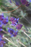 Common all over the dry, rocky places of the American West, purple sage (sometimes called desert sage) is a very important food source for many insects, particularly bees.