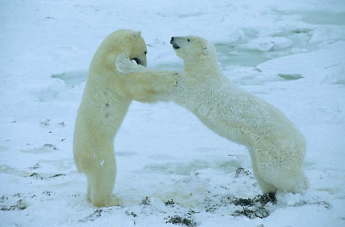 Polar Bear, (Ursus maritimus) Adult play fighting. Churchill, Manitoba. Canada.