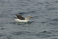 Grey-headed Albatross (Thalassarche chrysostoma) bathing in the water.<br />