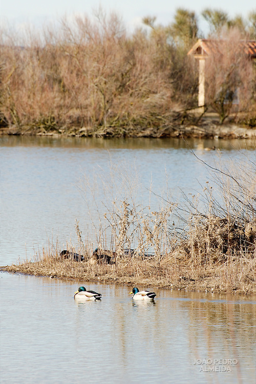 Groups of mallards at a lagoon at Villafáfila
