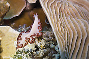 Orsaki polyclad flatworm (Maiazoon orsaki) on Agincourt Reef, Great Barrier Reef, Queensland, Australia.