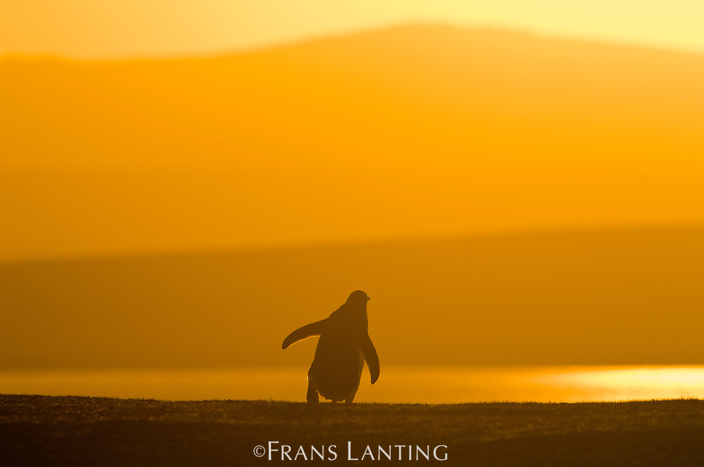 Gentoo penguin at sunset, Pygoscelis papua, Falkland Islands