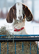 Goshen, New York - A goat feeds at Banbury Cross Farm on Feb. 20, 2015.
