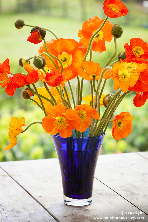 Orange Iceland poppies in a blue vase. Arctic poppy. Papaver nudicaule