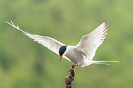 Arctic Tern (Sterna paradisaea) perched on branch at Potter Marsh in Southcentral Alaska. Spring. Morning.