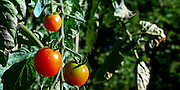 panorama of red tomatoes