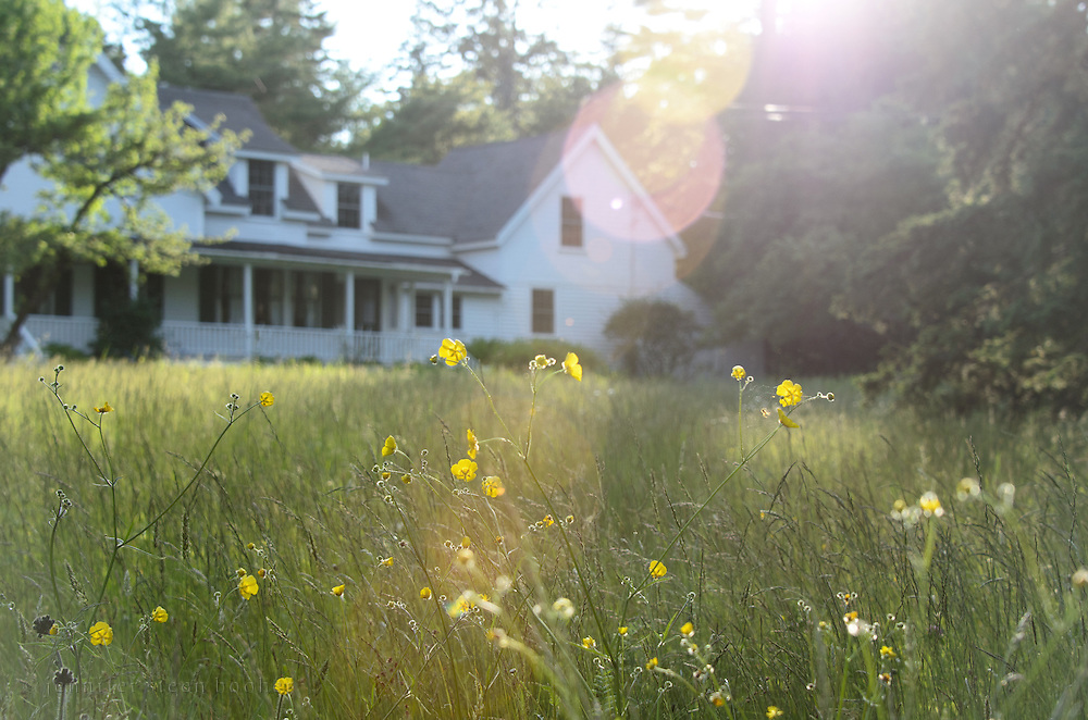 A dreamy view of a summer cottage in Downeast Maine, with afternoon sun flaring through bright yellow buttercups.