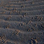 Oman, Ra's al-Hadd...Seagull footprints along the beach of Ra's al-Hadd.
