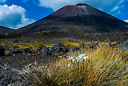 Flowers & grasses are sparely spaced out in South Crater. Mt Ngauruhoe in background. Tongariro Alpine Crossing.