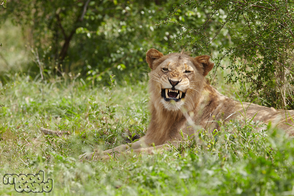Lioness lying in African undergrowth