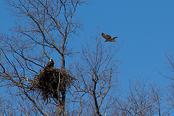 ~ Building their first nest is often a long and arduous task for 'birds of prey', and so they tend to return to that same nest, year after year, replenishing its construction each season ... <br />