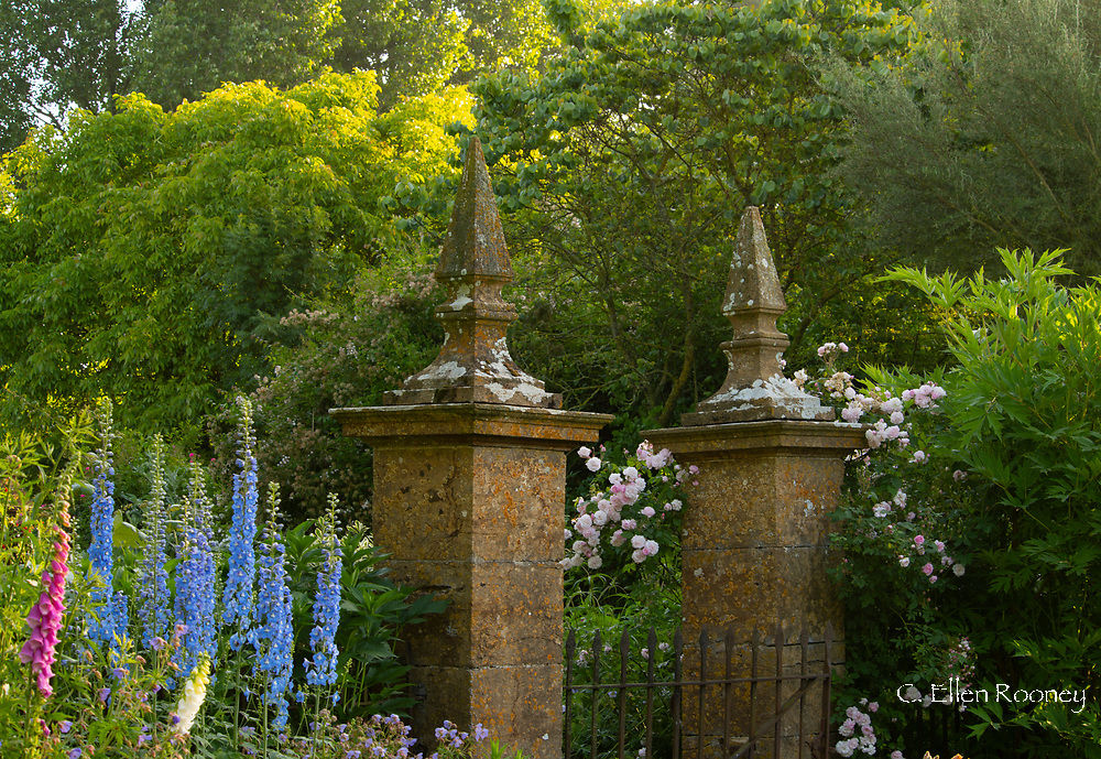 Delphinium Pacific hybrid and Rosa 'Blush Noisette' around stone pillars and a gate at Lower Severalls Farmhouse,  Crewkerne, Somerset, UK