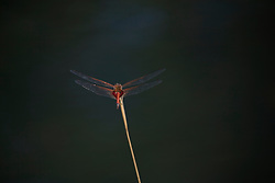 A red dragonfly by a freshwater waterhole on Augustus Island.