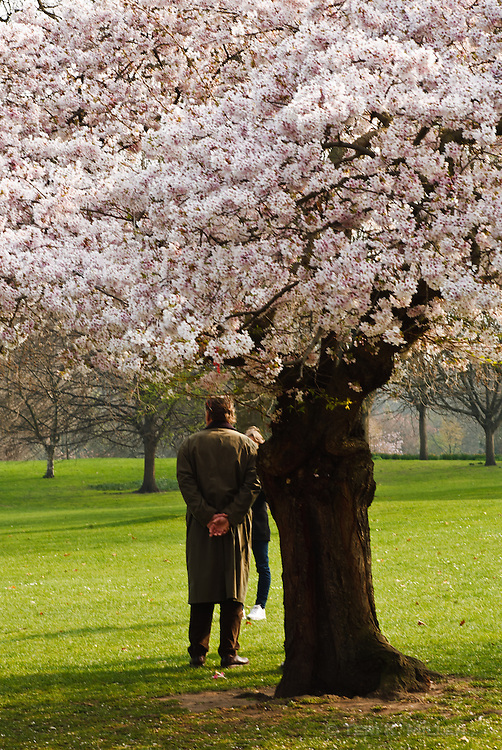 Flowering tree at St. James Park, London, England.